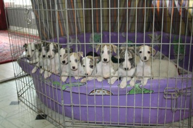 Hounds of Freckashpeng whippet pups (previous litter)